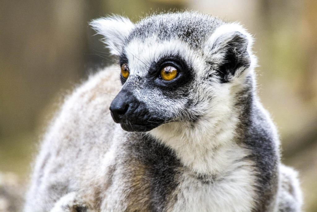Lemur at the London Zoo, London, UK