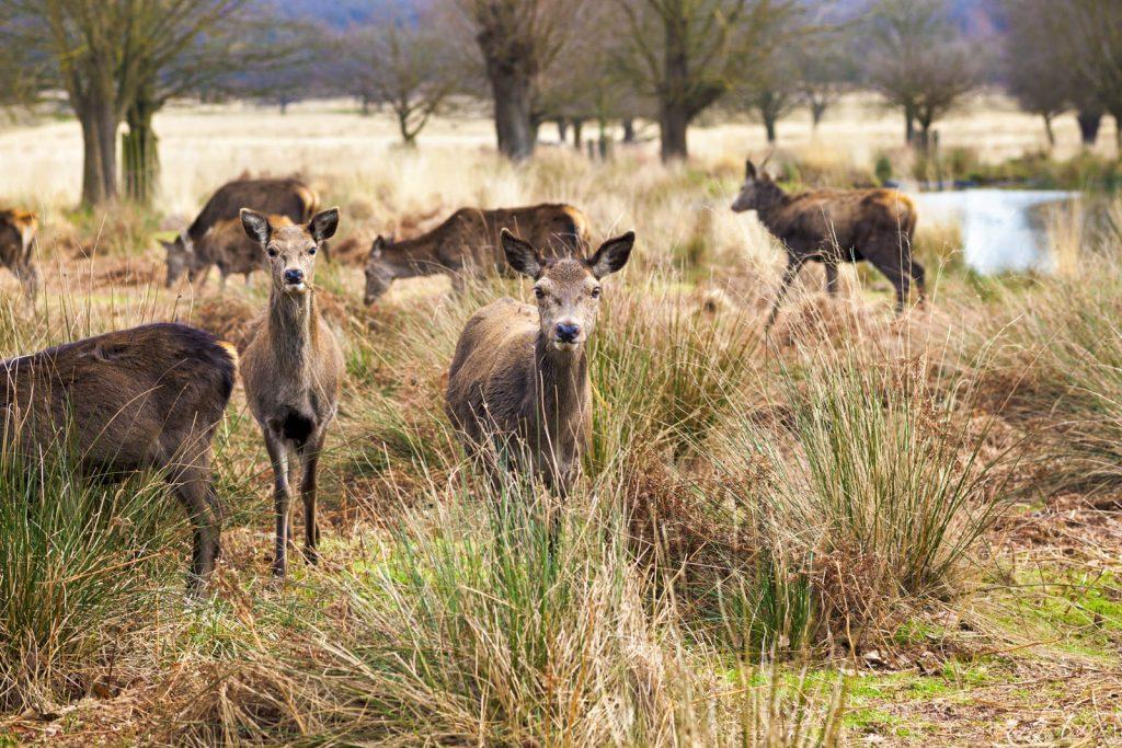 Deer in Richmond Park, London, UK